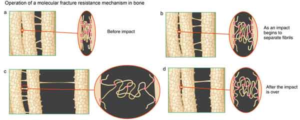 Schematic of the cumulative effect of bone glue molecules acting together to resist fracture under impacts.